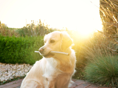 Cricket protein for canines | 8 benefits of cricket-based protein