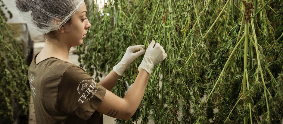 The Sale Of Evil Weed Is Extinguished From Libertyville