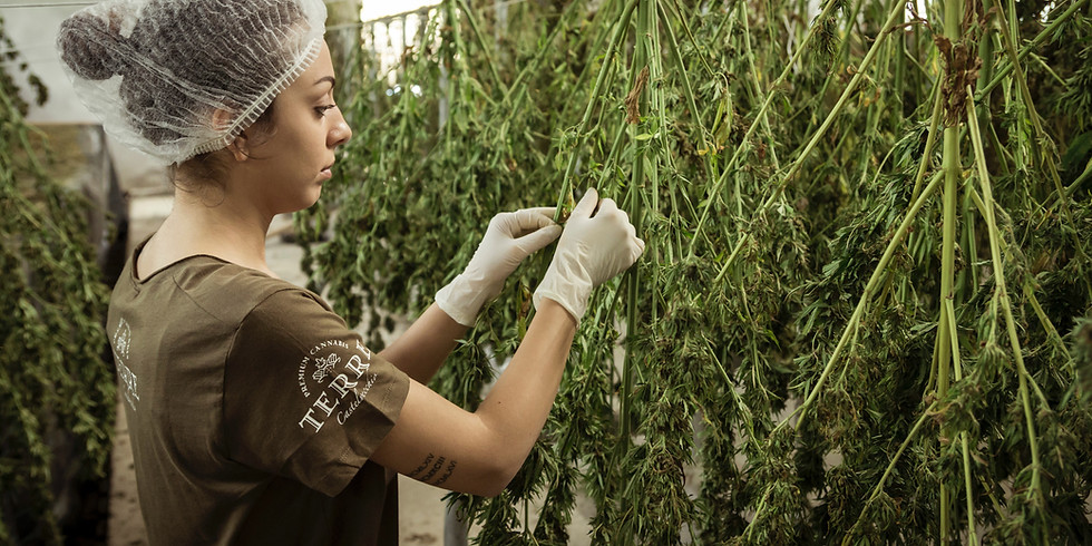 #NewNormal Exclusives - Cannabis Industry