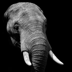 The Elephant's Poem by Albert Kirk Jr.