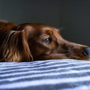 Leptospiroza kod pasa - Sve što trebate znati