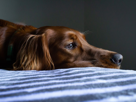 The Psychology of Separation Anxiety in Dogs