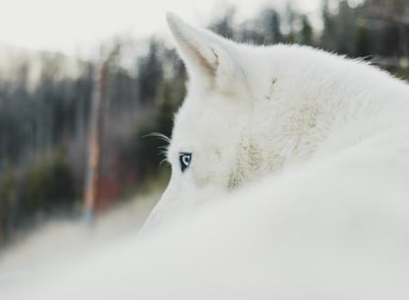 The White Wolf - Dream Diary #1