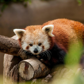 Introvert Panda