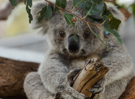 This Line of Luxury Beauty Oils is Helping Koalas in Australia