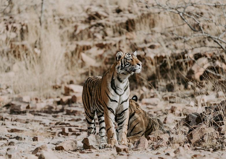 ranthambore_Safari_India_tigres