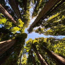 Not Your Christmas Tree: Avenue of the Giants
