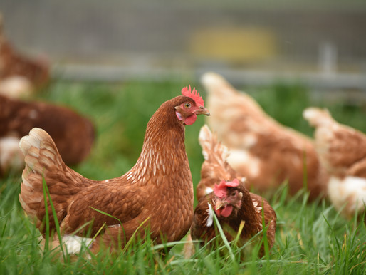 Should You Get Chickens?