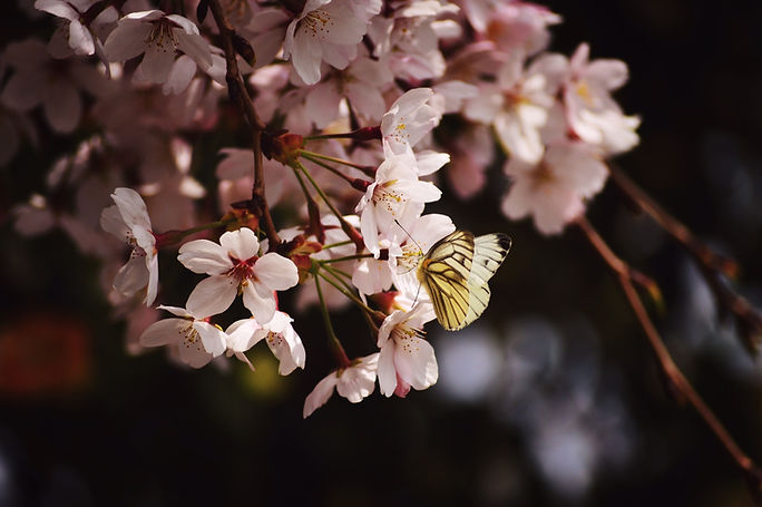 An image of butterflies on blossom