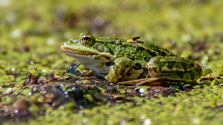Estonian capital closes road to allow breeding frogs and toads safe passage