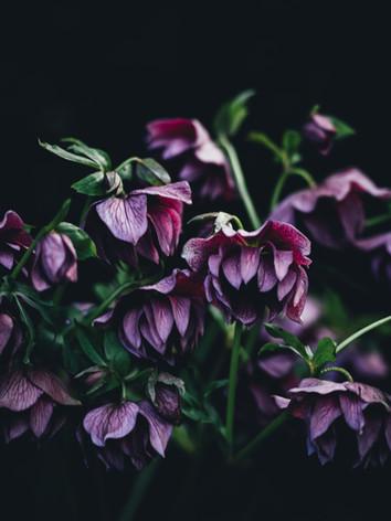 Hellebore - Image by Annie Spratt