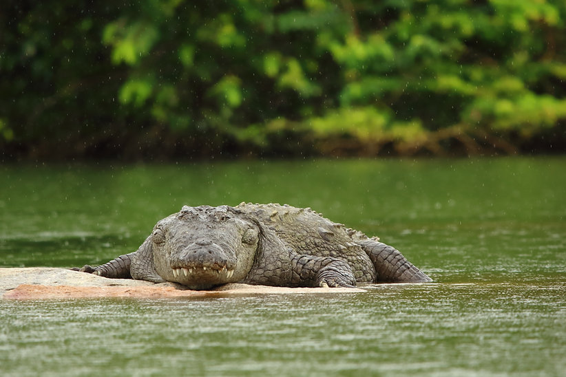 tito crocodile coiba national park pacific coast panama day trip the ark divers scuba lodge holidays