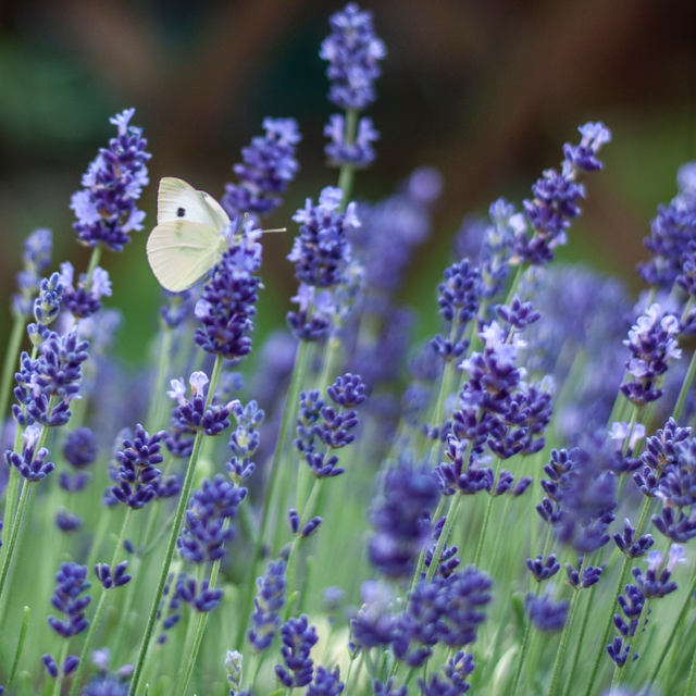 True Lavender French