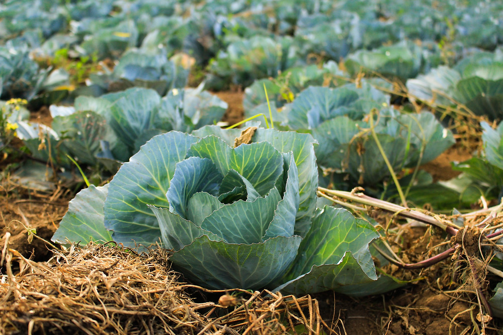 Traditional cabbage