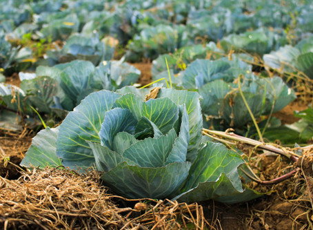 What You Can Learn About Farm Fresh Cabbage?
