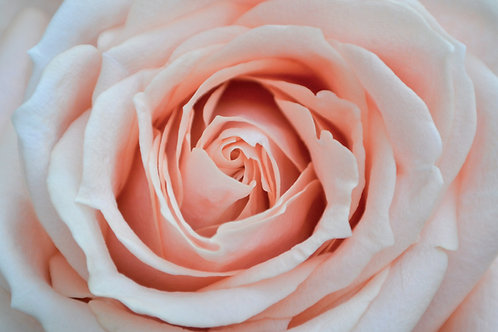 Blush Pink Roses (25 Stems)