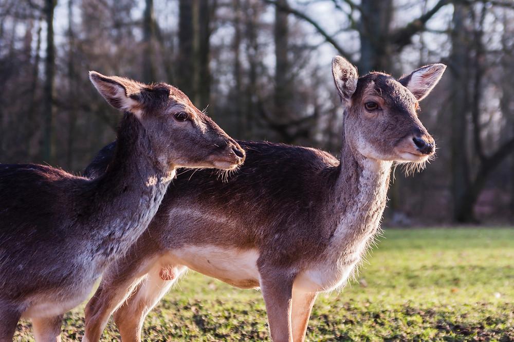 Rotwild auf einer Lichtung. Nachhaltige Angebote in Nord-Hessen. Nationalpark Kellerwald-Edersee lockt mit vielen Angeboten auch mit einem Wildpark.