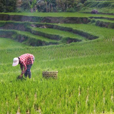 Excelencia sostenible: Buenas prácticas ambientales para la producción de arroz