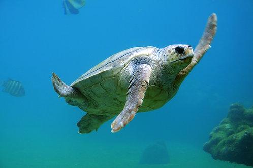 Sea Turtles: Habitat, Prey, and Behaviors