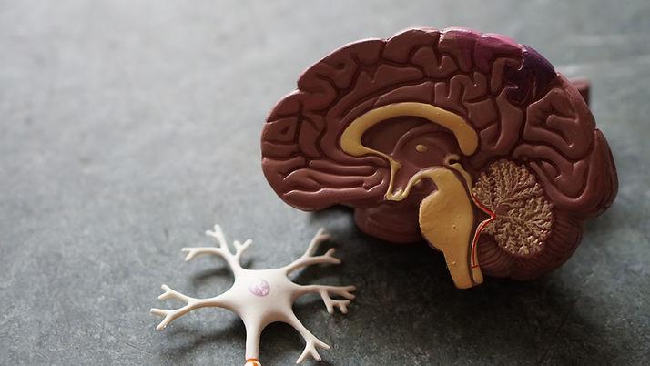 Imagem de um modelo de um cérebro e um neurônio, representando a pnl(programação neuro linguistica))