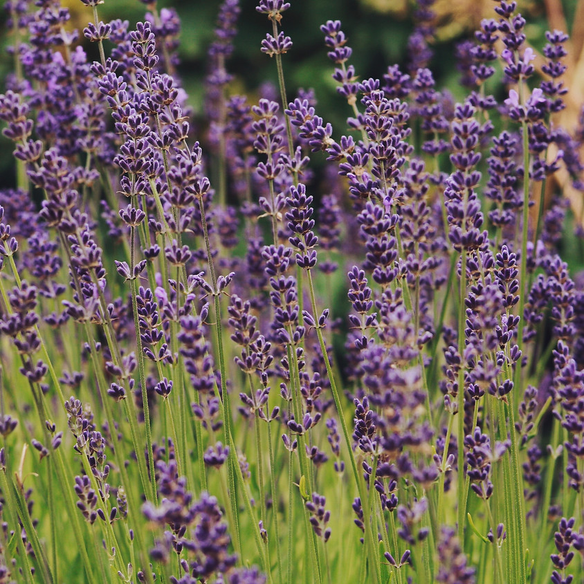 Lavender 101 with Ginger