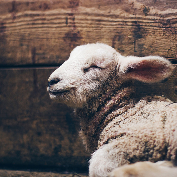 Farm birthing with homeopathy