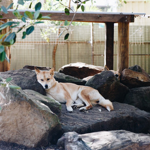 You Can't Ride the Dingoes: What I learned about rejection from a childhood obsession with Australia