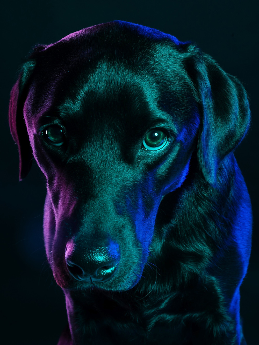 Dogs and Leptospirosis