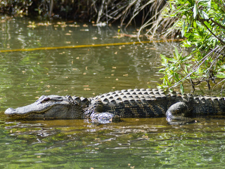 Alligator Vibes