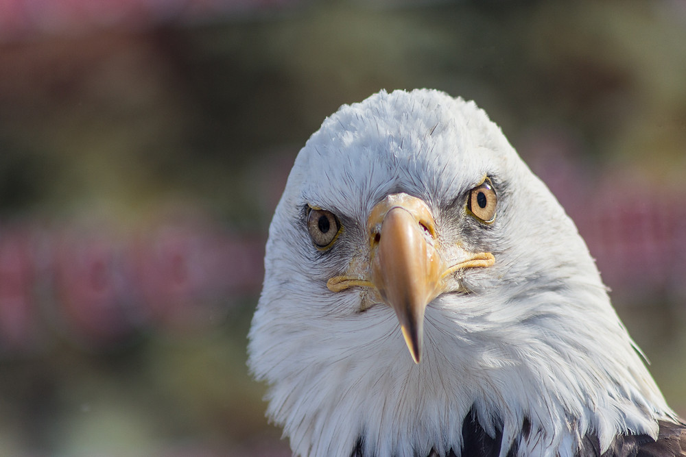 Bald Eagles are just feathered vultures