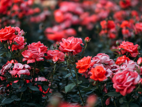The Rose - June for Flowers