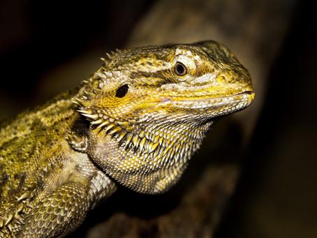 Inilah Fakta Menarik Tentang Bearded Dragon, Reptil Eksotis Yang Bisa Ganti Kelamin!