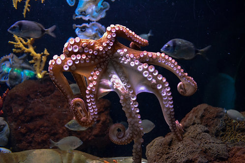 SEA Show: OctopusDay