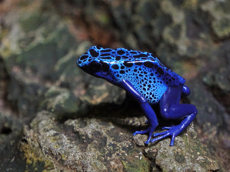 So That's Neat! Why poison dart frogs are poisonous