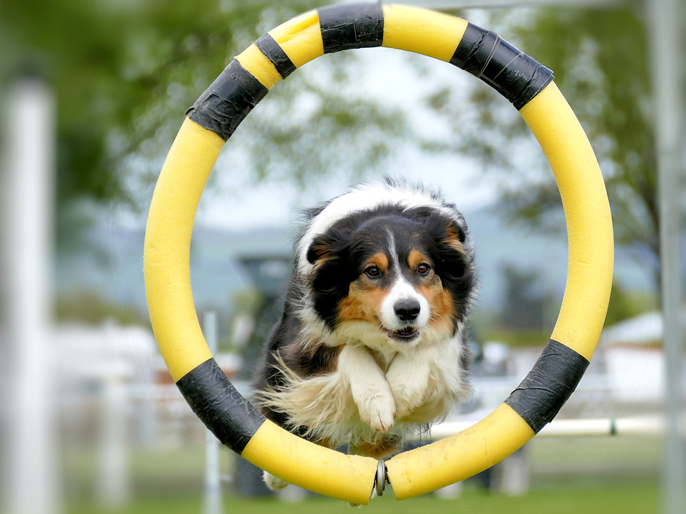 Hond doet aan agillity