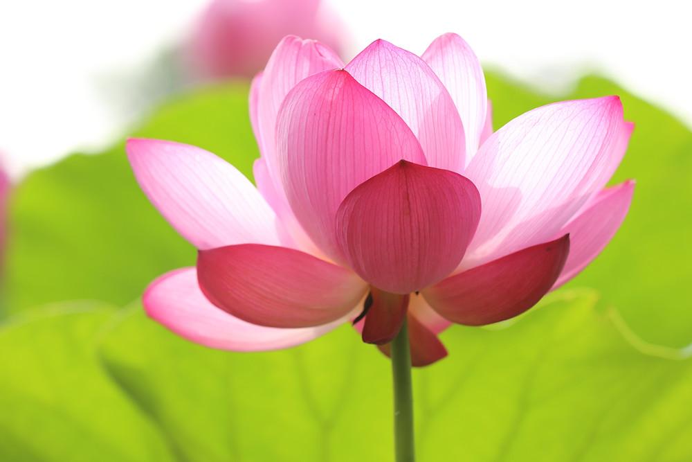 élixir de lotus dans le remède assistance DEVA