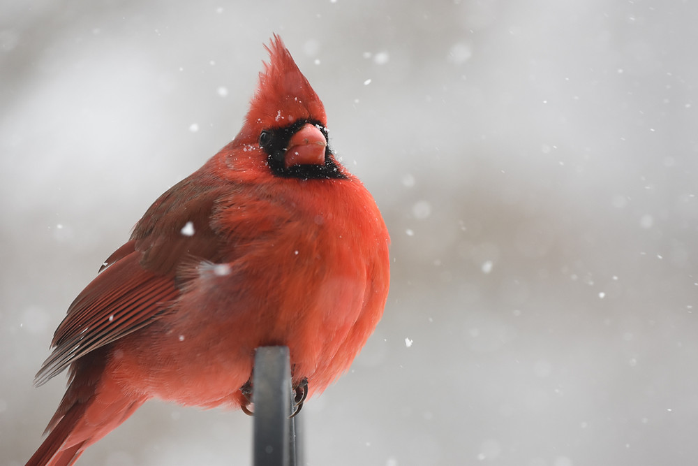 red cardinal on snowy background