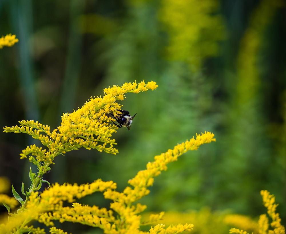 Denver Yimby: Colorado Native Plants Seed Swap: Goldenrod