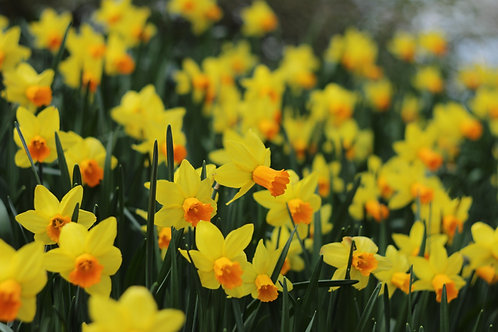 Mixed Narcissus Bulbs