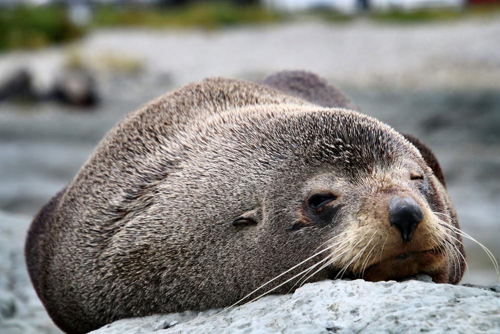 Un phoque se repose