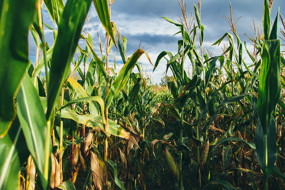 Go to a corn maze near your Leesburg Florida rental