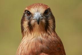 Avian mews for peregrine falcons