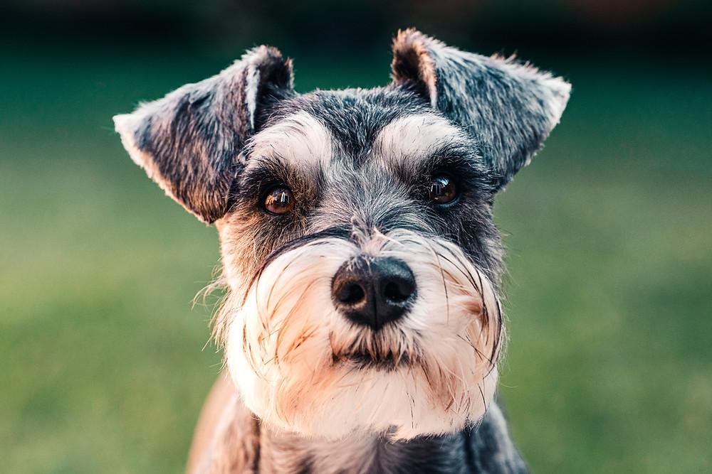 Miniature Schnauzer Hypoallergenic Dog