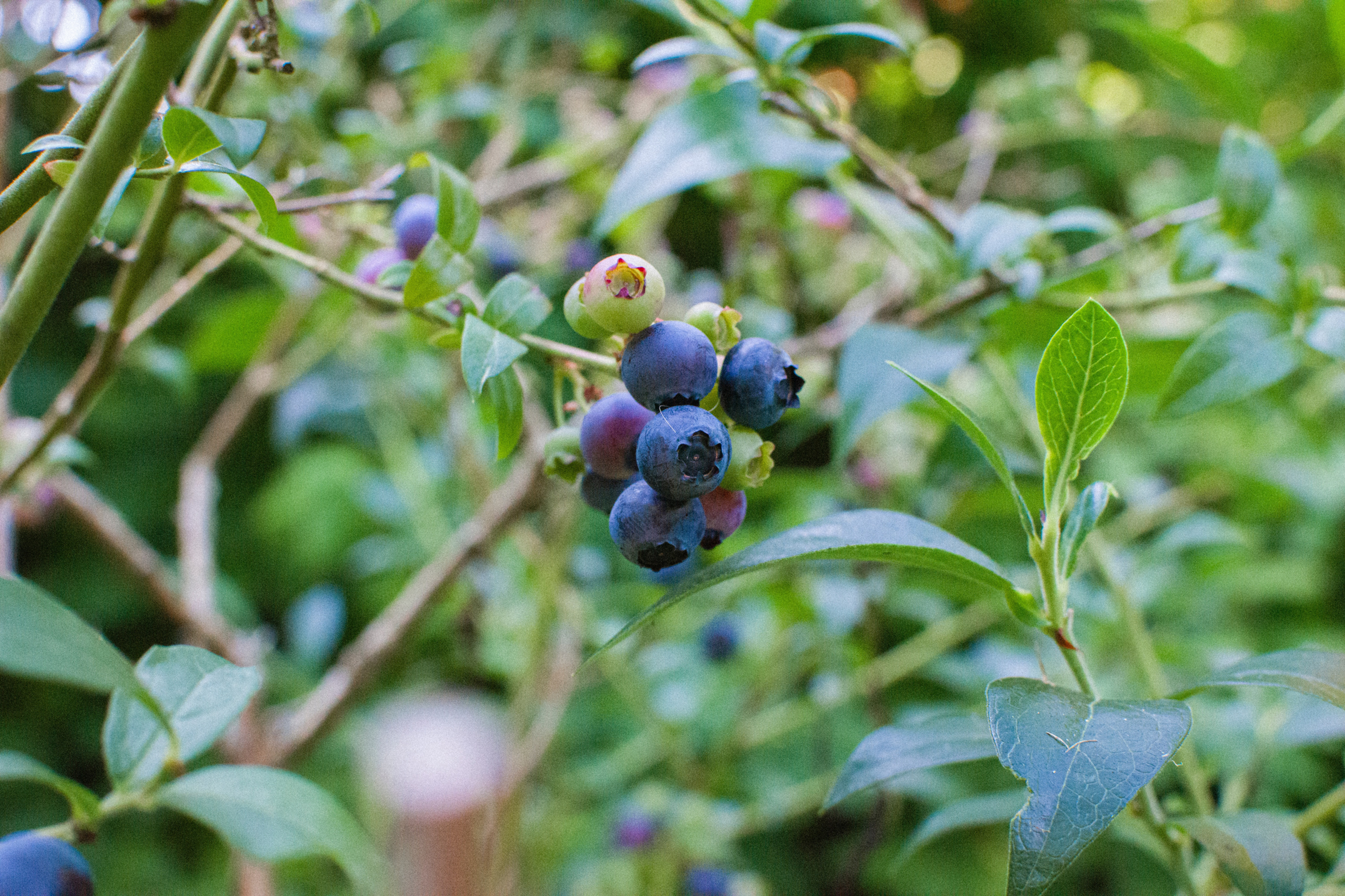 Maine Blueberries: They're Wild!