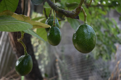 GROWING AVOCADOS IN MELBOURNE