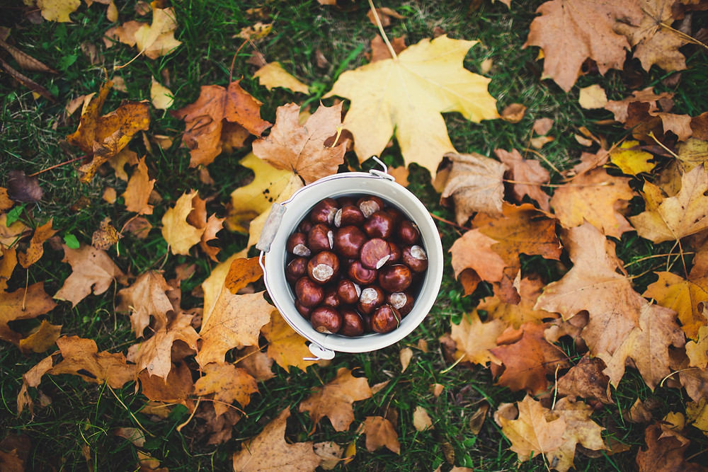 Chestnut collecting fun fall activity outdoors