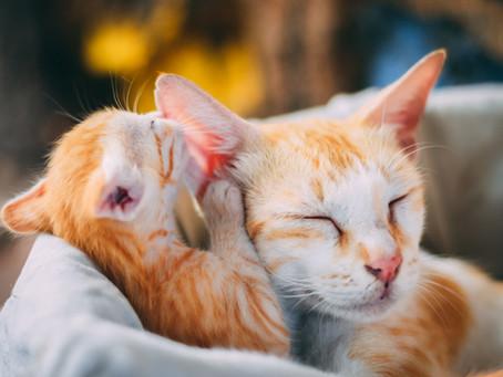 """Berikan Perawatan dan Makanan yang """"Pas"""" untuk Kucing Menyusui"""