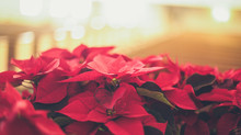 Virginia farmers grow millions of poinsettias for the holidays