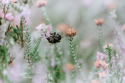 En humla sitter på en ljusrosa blomma, bilden är tagen nära insekten och har mkt ljusrosa och ljusgröna toner.