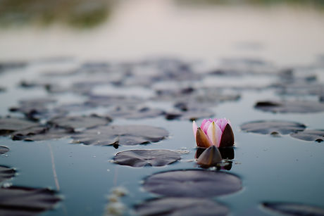 Image of flower blossoming in pond